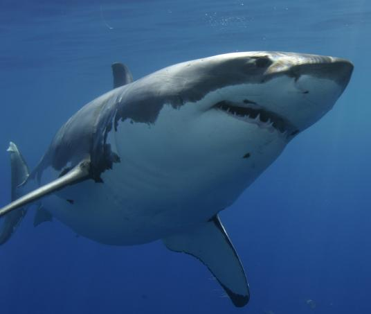 Dive with Great Whites Sharks with Incredible Adventures
